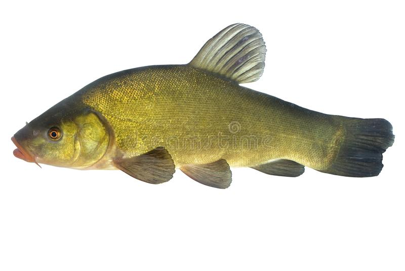 鲤属鱼 库存图片