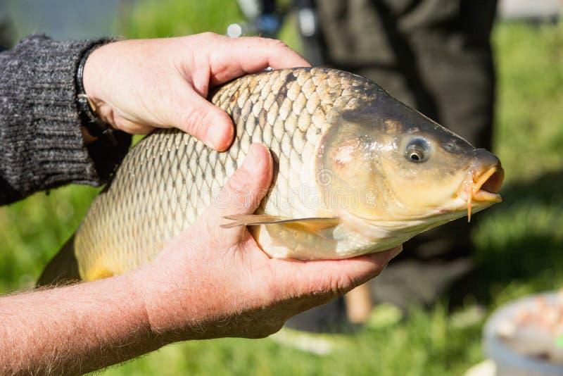鲤鱼在渔夫的手上 免版税库存图片