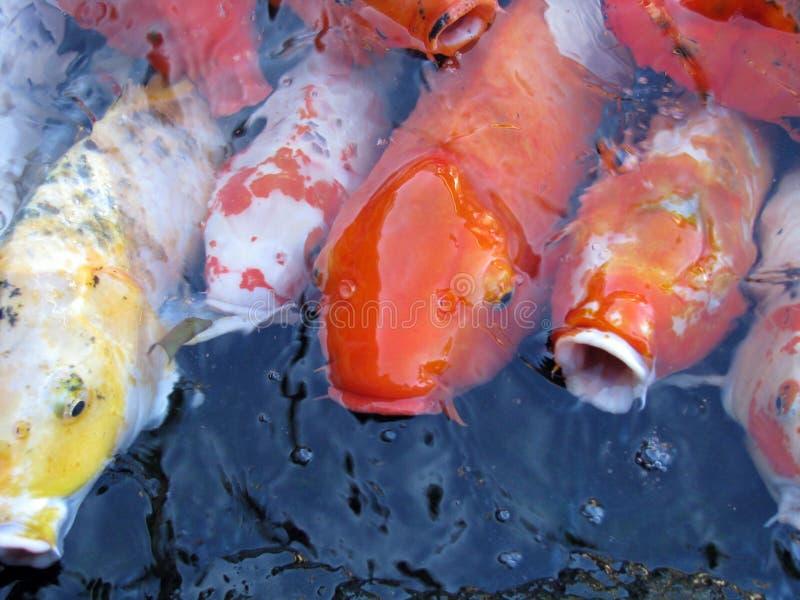 鲤鱼提供 免版税库存照片