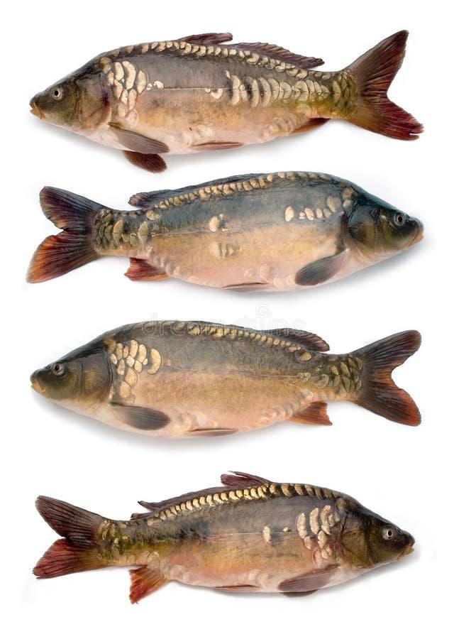 鲤鱼收集镜子 库存照片