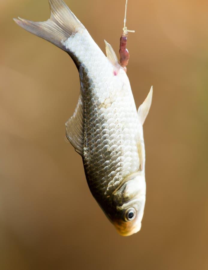鲤鱼鱼上勾的标尺 免版税库存照片