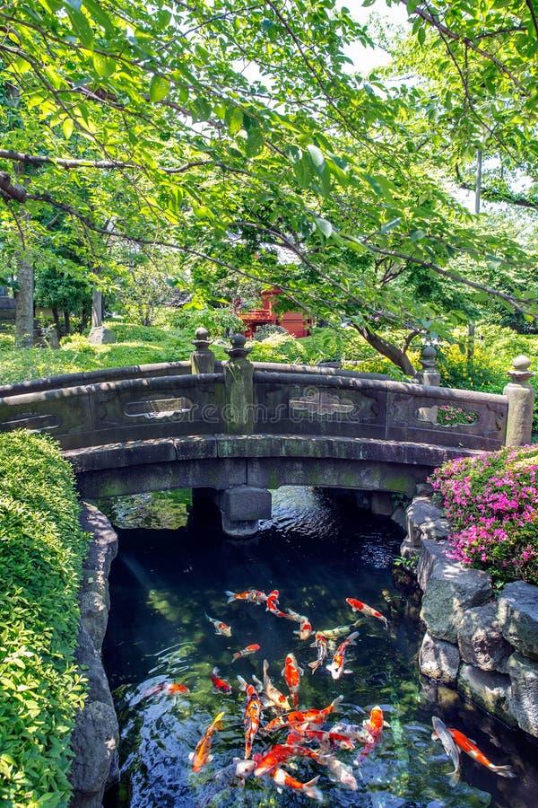 鲤鱼鱼在池塘游泳在庭院里 库存图片