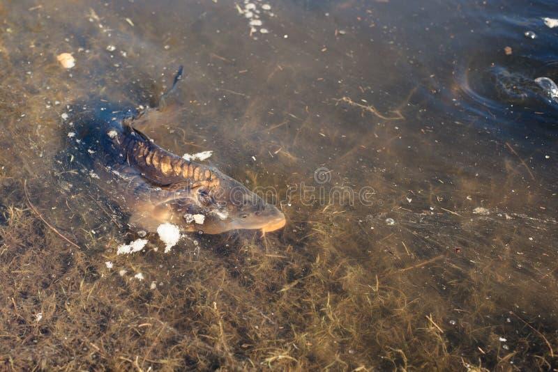 鲤鱼鱼在湖 图库摄影