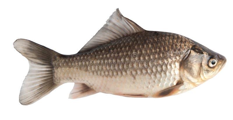 鲤鱼鱼 免版税库存照片