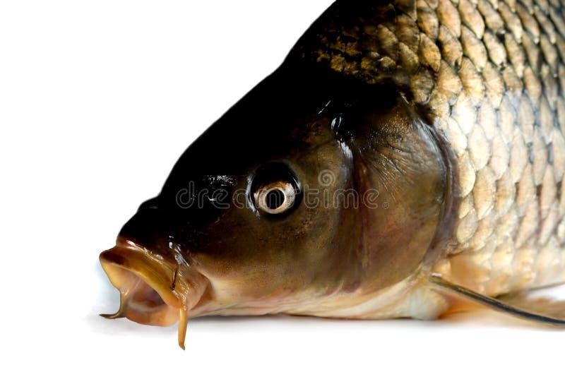 鲤鱼鱼 库存照片