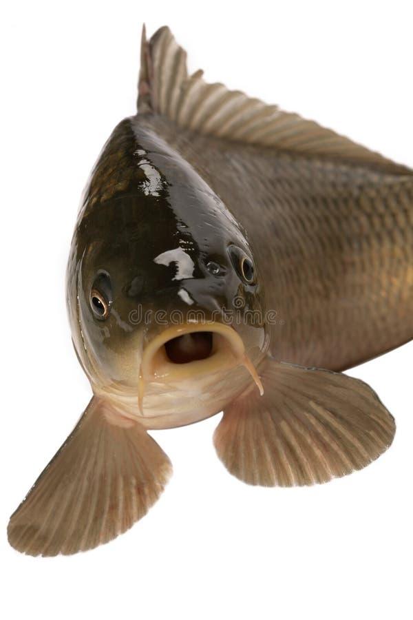 鲤鱼 免版税库存图片