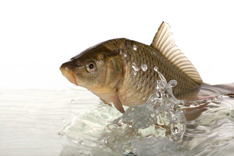 鲤鱼 图库摄影