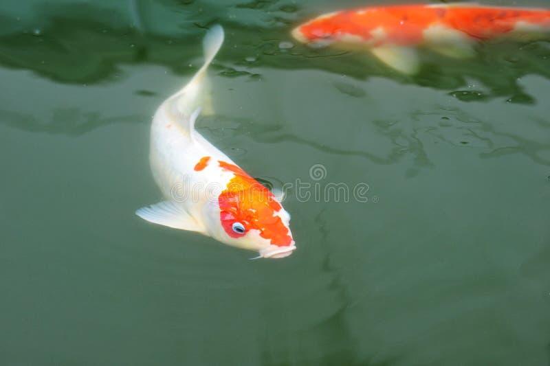 鲤鱼koi 库存照片