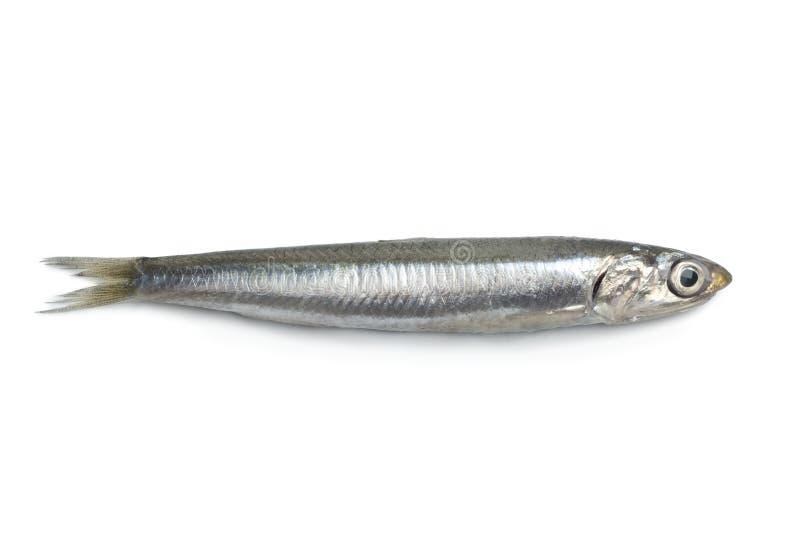 鲥鱼新鲜原始全部 免版税库存照片