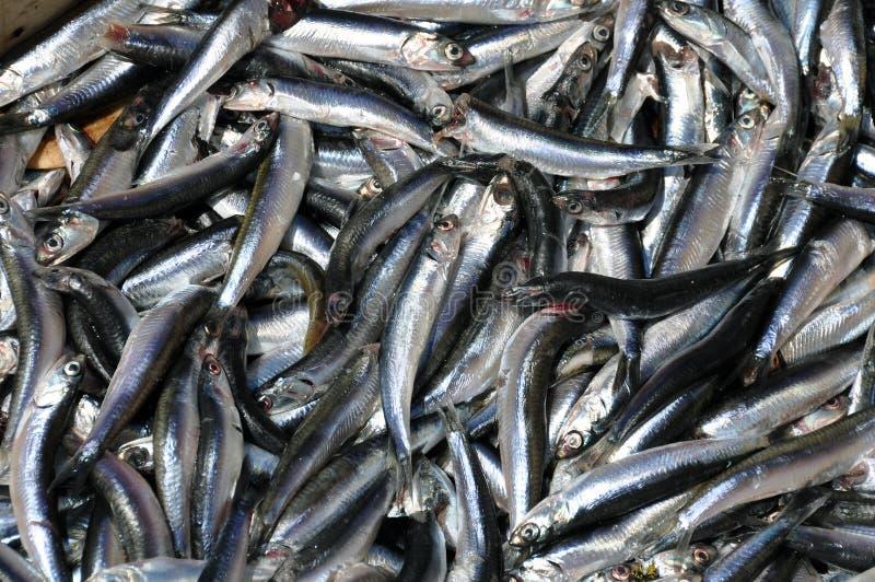 鲥鱼银 库存照片