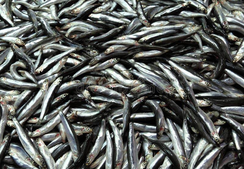 鲥鱼 免版税库存图片