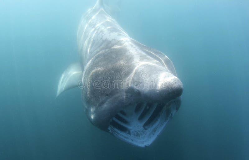 鲨鱼向相机游动 库存图片