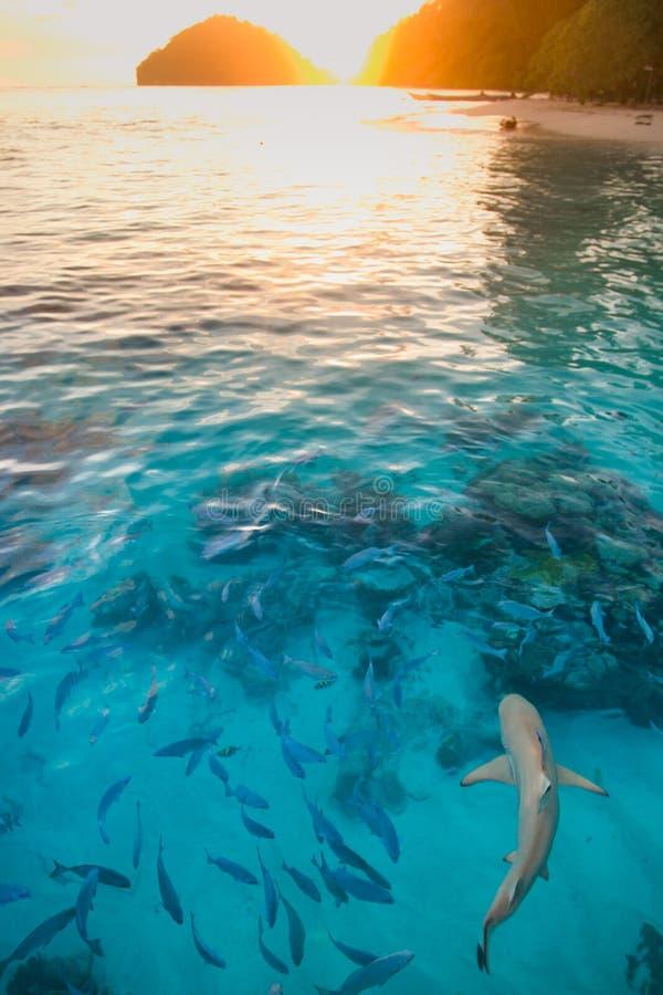 鲨鱼在日落的纯净的水中 库存照片