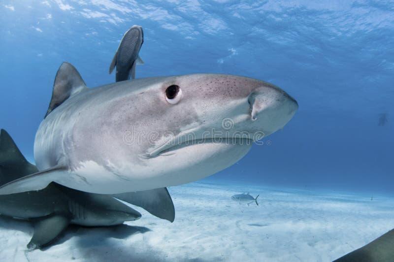 鲨鱼惊奇 免版税库存图片