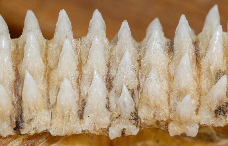 鲨鱼牙行在下颌的 免版税库存照片