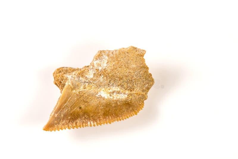 鲨鱼牙,一条矮小噬人鲨的化石 图库摄影