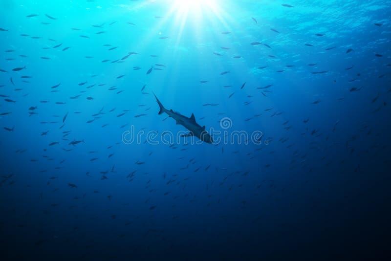 鲨鱼狩猎小鱼剪影  免版税库存照片