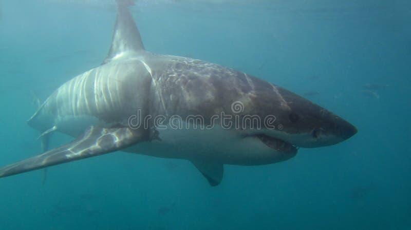 鲨鱼白色 免版税库存图片