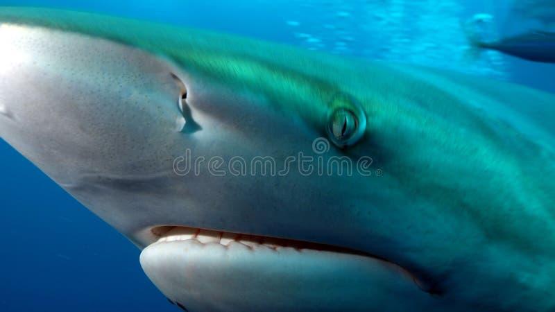 鲨鱼的深眼睛 免版税库存图片