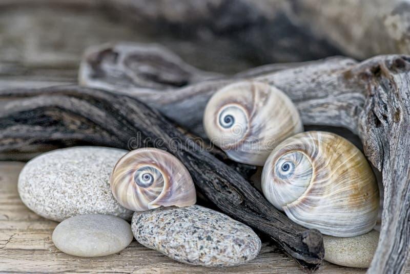 鲨鱼的眼睛壳和漂流木头 免版税库存图片