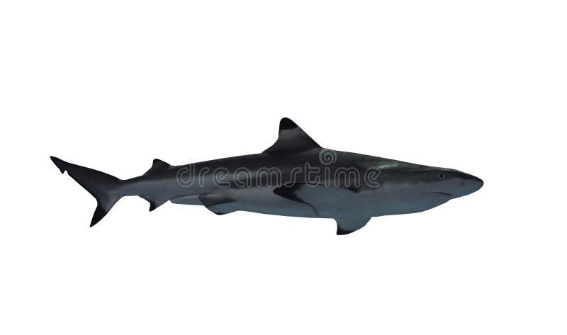 鲨鱼被隔绝在从权利的白色看法 免版税库存照片