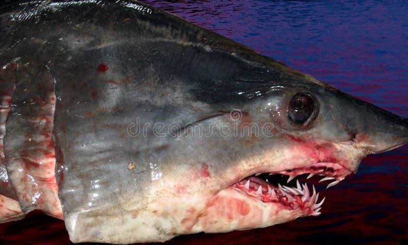 鲨鱼头 免版税库存照片