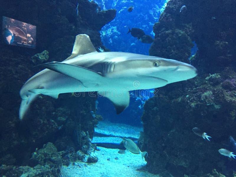 鲨鱼攻击 免版税库存照片