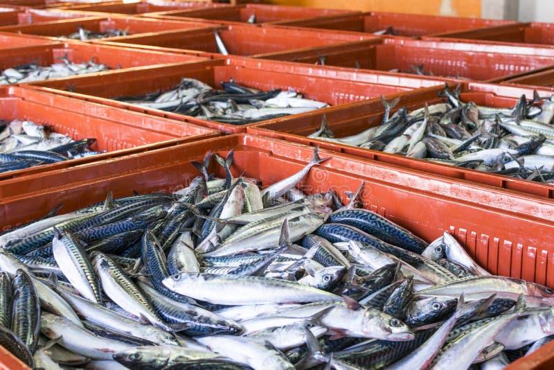 鲭类scombrus,verdel,大王马鲛鱼,鲣类销售  免版税库存图片