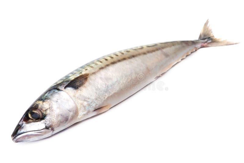 鲭鱼 库存照片