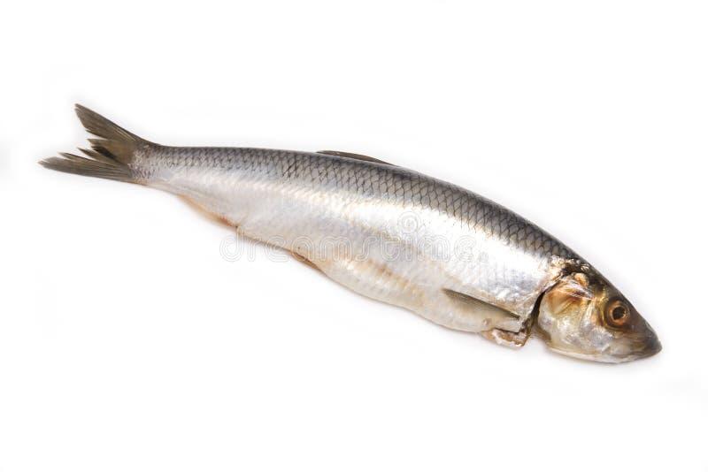 鲱鱼查出的白色 库存图片