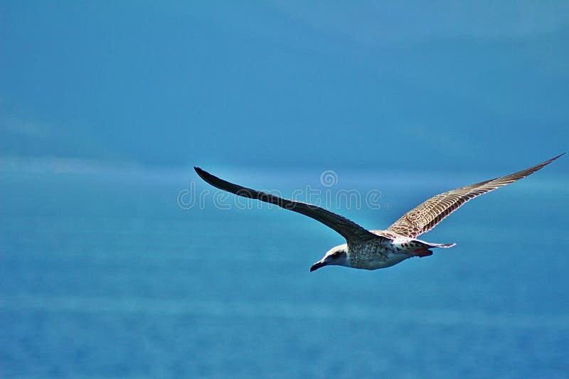 鲱鱼鸥的大翼 免版税库存图片
