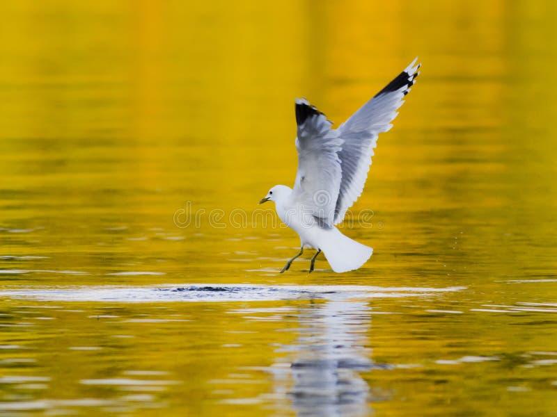 鲱鸥鸟几乎传染性的鱼 免版税库存照片
