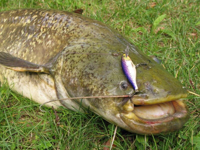 鲶鱼渔 库存图片