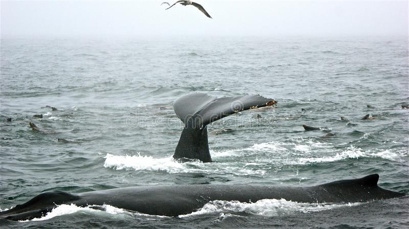 鲸鱼姿势 免版税库存照片