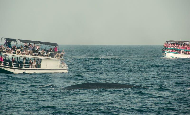 鲸鱼观看的游览 狂放的蓝鲸游泳在印度洋 野生生物自然背景 文本的空间 冒险旅行, touri 库存照片