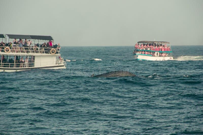 鲸鱼观看的游览 野生蓝鲸在印度洋游泳 野生生物自然背景 文本的空间 冒险旅行,旅游业 免版税图库摄影