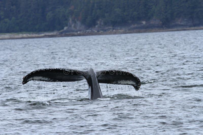 鲸鱼里面段落,阿拉斯加 库存照片