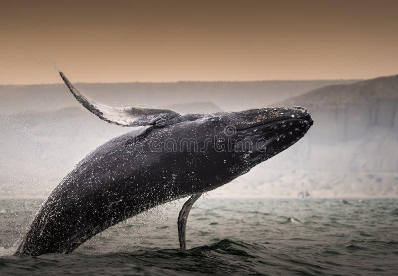 鲸鱼WATCHIN秘鲁 图库摄影