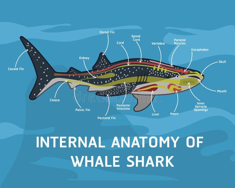 鲸鲨内部解剖学  向量例证