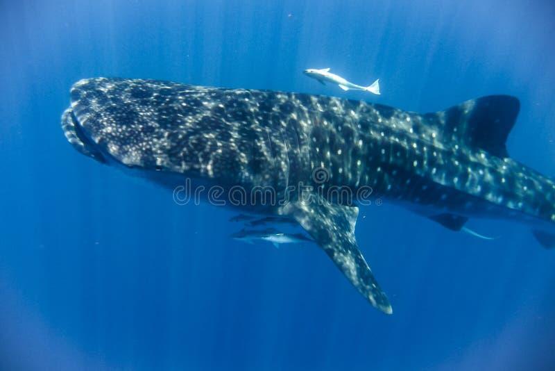 鲸鲨在印度洋 免版税库存图片