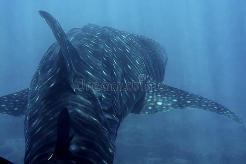 鲸鲨在蓝色海 免版税库存图片