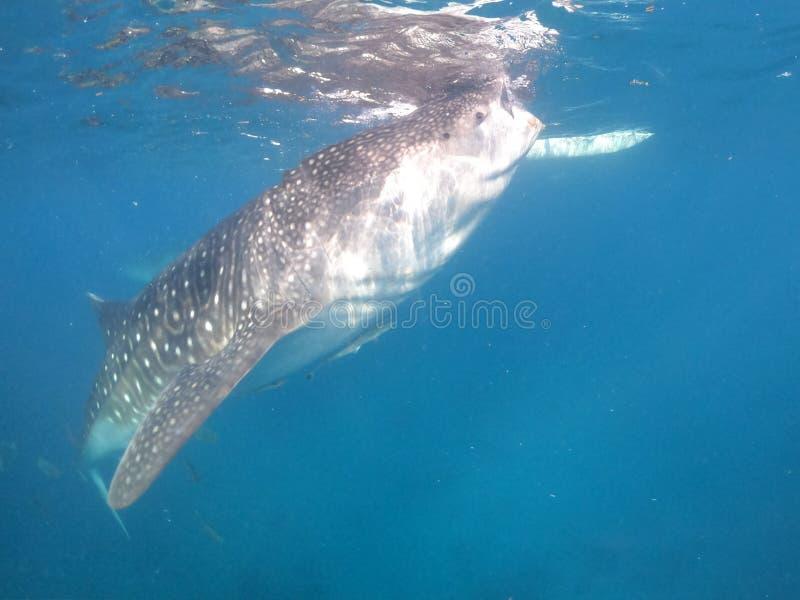鲸鲨,宿务海岛,菲律宾 图库摄影