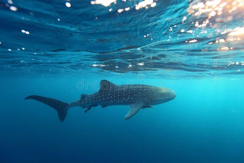 鲸鲨Rhincodon在透明的蓝色w的typus游泳 库存照片