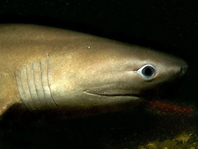 鳃鲨鱼六 免版税图库摄影