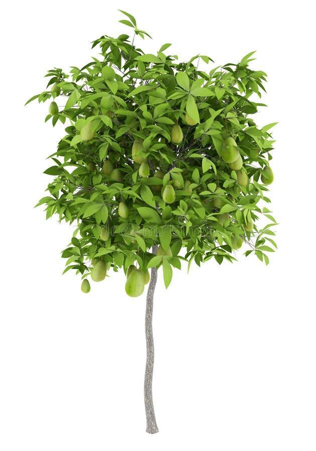 鳄梨树用在白色隔绝的鲕梨 向量例证