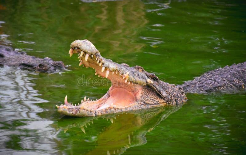 鳄鱼下颌开张 一条鳄鱼的外形在一个池塘用绿色水 开放嘴和锋利的牙齿 强烈的黄色眼睛 免版税库存照片