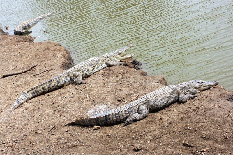 鳄鱼临近三水 免版税库存照片