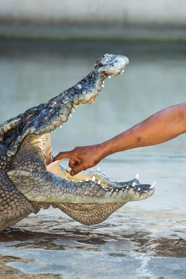 鳄鱼令人激动的展示在泰国 库存图片
