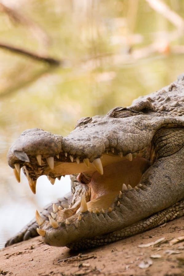 鳄鱼休眠 免版税库存照片