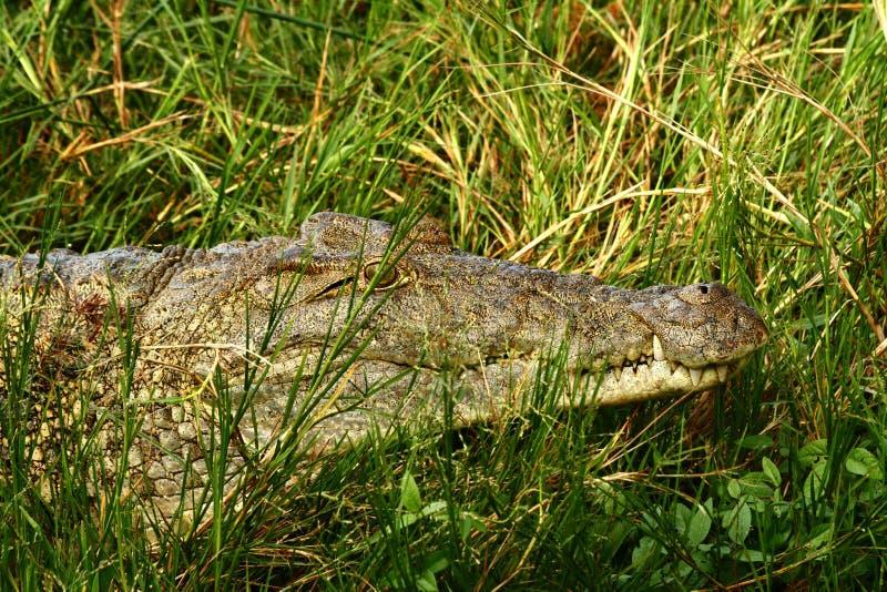 鳄鱼伪装 库存照片